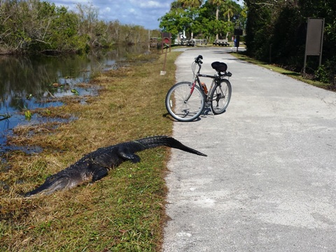 Florida top 10 bike trails, Shark Valley alligator
